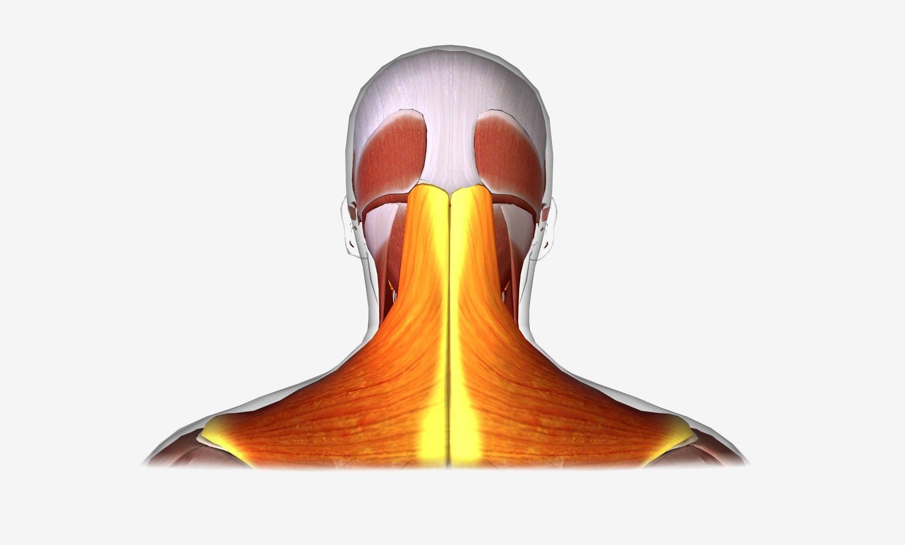נקודות לחיצה להקלה על כאב בטרפז (רום השכמה)