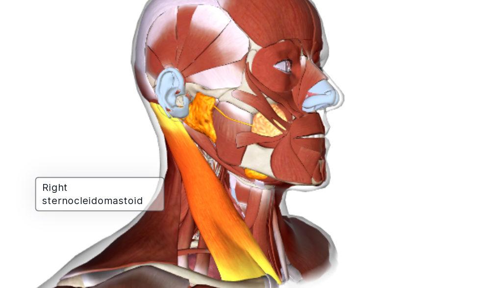 תרגיל הקסם לשחרור צוואר תפוס, כאבי צוואר, קושי בסיבוב הראש, כאבי ראש צדדים וכאבים בלסת